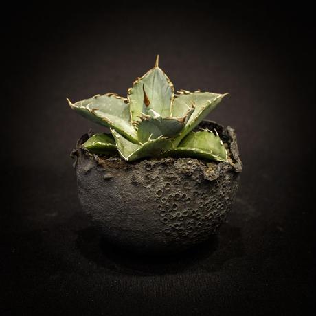 アガベ チタノタ   Agave titanota