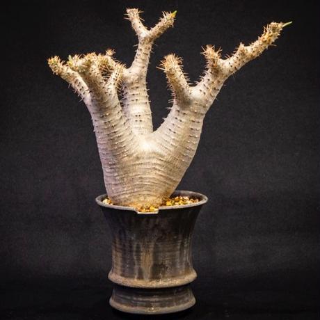 パキポディウム マカイエンセ Pachypodium makayense