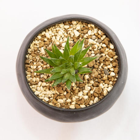 ハオルチア リーウプアルテンシス Haworthia leeuportensis n.n.