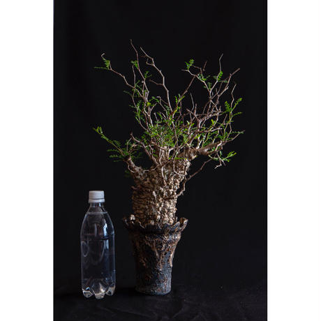 オペルクリカリア パキプス② Operculicarya pachypus