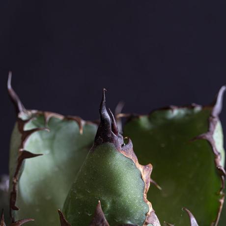 アガベ チタノタ ブラックアンドブルー(10) Agave titanota black and blue