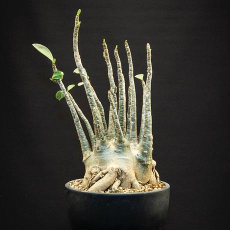 アデニウム アラビクム Adenium arabicum