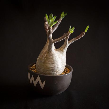 パキポディウム グラキリス Pachypodium rosulatum var.gracilius⑤