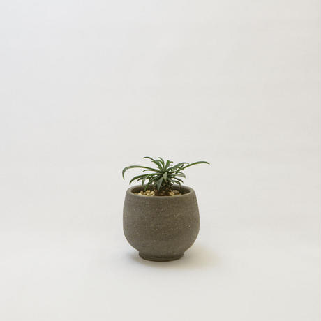 ユーフォルビア・ソテツキリン.4 Euphorbia bupleurifolia