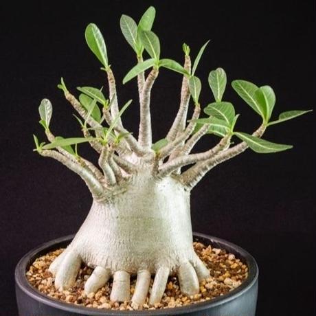 アデニウム タイソコトラナム Adenium Thai socotranum