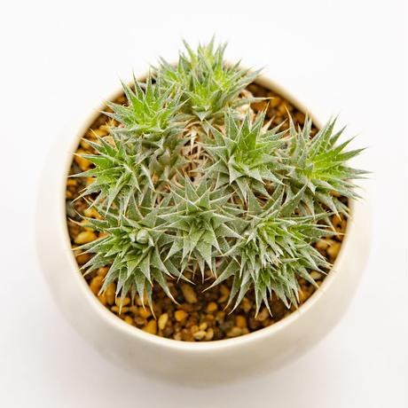 デウテロコニア ブレビフォリア ssp. クロランサ.1 Deuterocohnia brevifolia ssp. chlorantha