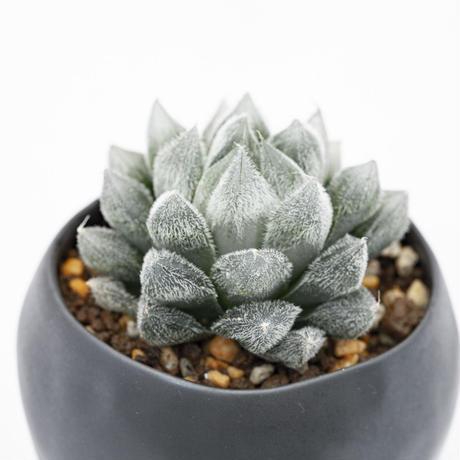 ハオルチア 厚葉ベヌスタ Haworthia cooperi var. venusta