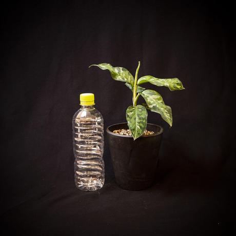 """アグラオネマ""""ピクタム トリカラー"""".1  Aglaonema pictum tricolor"""