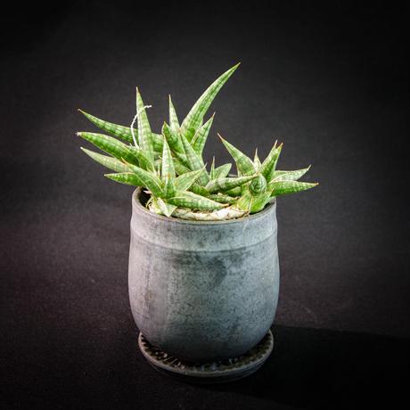 サンスベリア フンベルティアナ Sansevieria humbertiana
