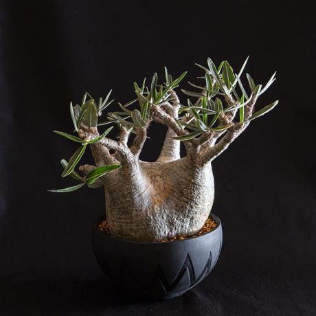 パキポディウム グラキリス Pachypodium rosulatum var.gracilius①