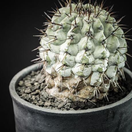 コピアポア シネレア 黒王丸 ミニカルパ Copiapoa cinerea var. minicarpa