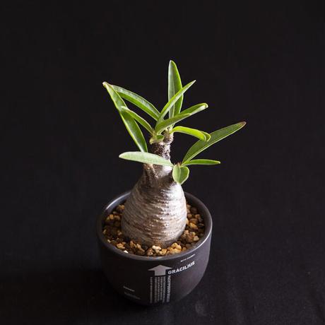 パキポディウム グラキリス Pachypodium rosulatum var.gracilius⑥