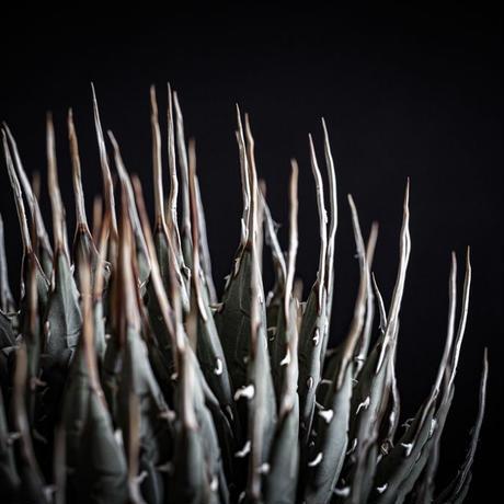 アガベ ユタエンシス エボリスピナ Agave utahensis eborispina