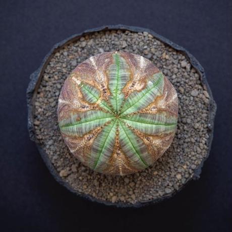ユーフォルビア オベサ.3 Euphorbia obesa