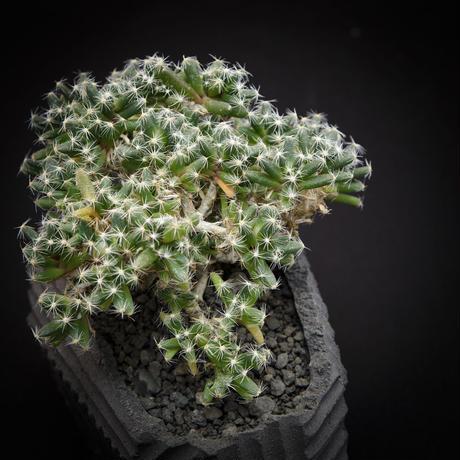 トリコディアデマ デンサム Trichodiadema densum