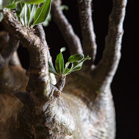 パキポディウム グラキリス Pachypodium rosulatum var.gracilius②