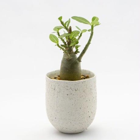 アデニウム アラビカム Adenium arabicum