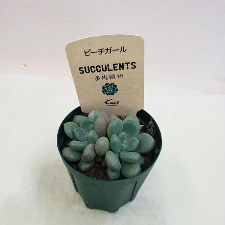 多肉植物 2.5号 パキベリア ピーチガール