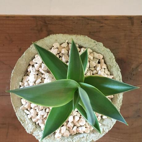 カワイイ植木鉢♪南の島からお届けする琉球漆喰鉢&アガベベネズエラ