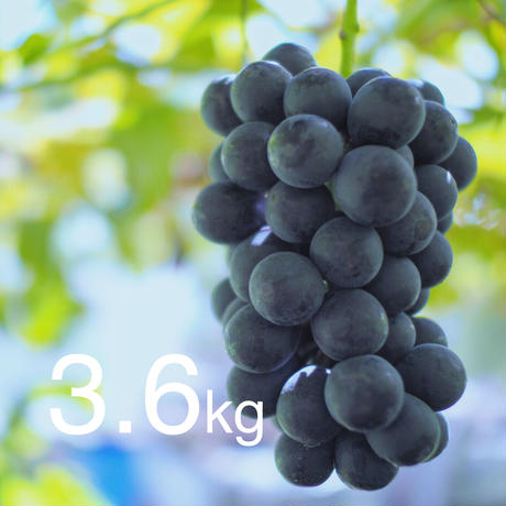 【2020年販売終了しました】種なし巨峰3.6kg☆農家直送