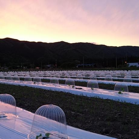 農家直送 近江伝統野菜 無農薬まくわうり 5kgセット
