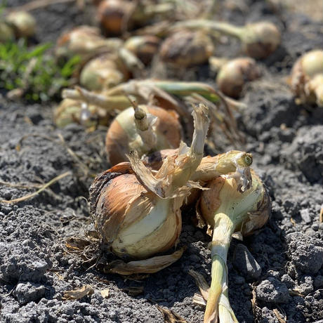 【有機JAS認証】農家直送 里山育ちの無農薬玉ねぎ 10㎏セット