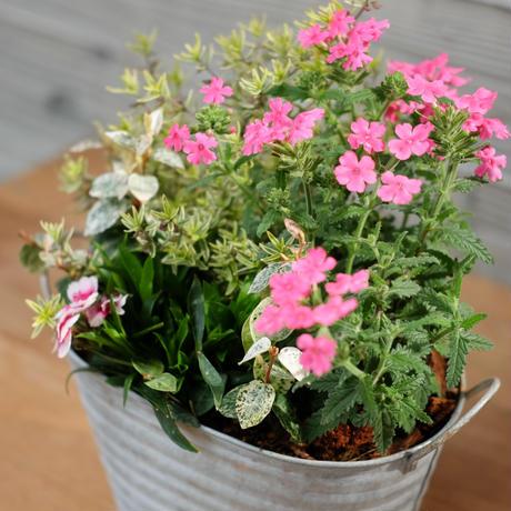 バーベナのブリキ鉢寄せ植え