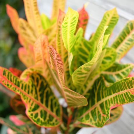 クロトン 緑×赤