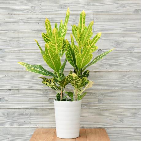 クロトン 緑×黄