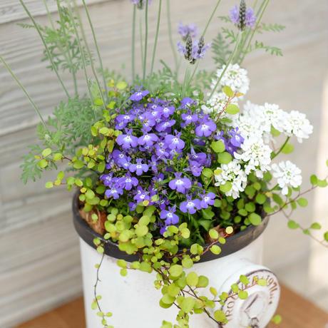 パープル&ホワイトの爽やかな寄せ植え