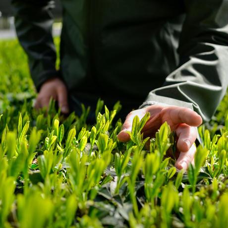 杉山貢大農園の上級煎茶「貢大」10g・「萌」50gの芽重型茶セット