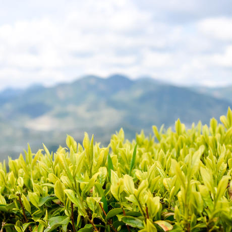 桜葉の香りがするお茶「静7132」&普段飲み茶に最適な煎茶「和」の飲み比べセット!
