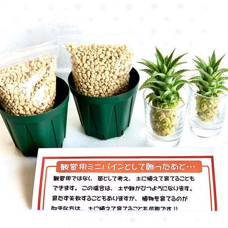 ミニパイン栽培セット(AmazonPay全品対応)
