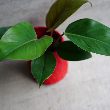 <CLOUDY×gui>PHILODENDRON BASKET  SET(RED)