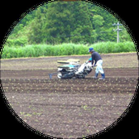 1)5月中旬に種をまき、6月中旬から畑に植え付けです。