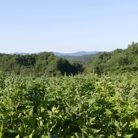 島根県産えごま油(50g)|1日小さじ1杯飲むだけ!オメガ3(αリノレン酸)を摂ろう!