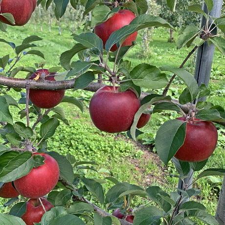 期間限定販売!りんご【レッドゴールド】『Mサイズ・23~25玉入り(贈答用)』【5㎏】《北海道壮瞥町産》
