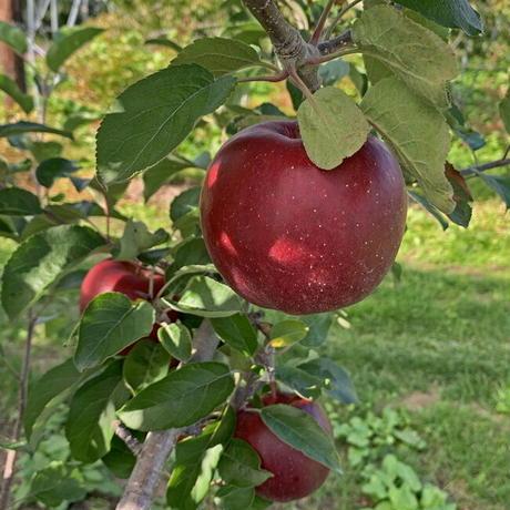 期間限定販売!りんご【レッドゴールド】『Lサイズ・18~20玉入り(贈答用)』【5㎏】《北海道壮瞥町産》