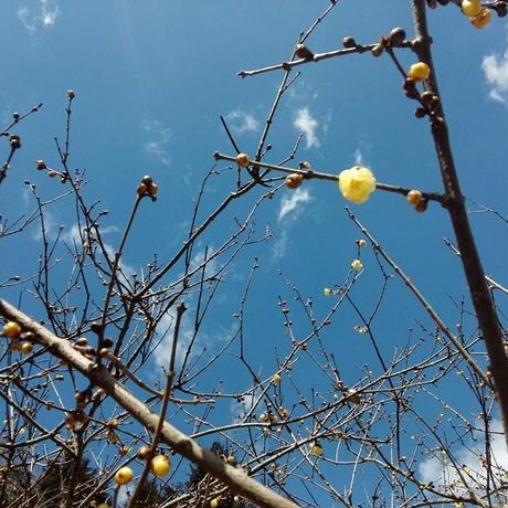 春の青空と蝋梅