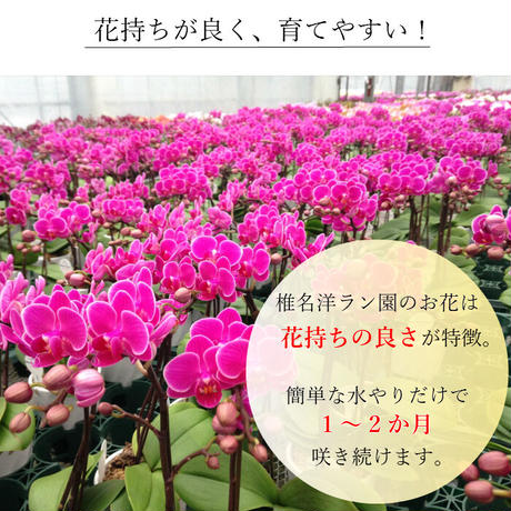 マイクロ胡蝶蘭2本立 3号 『2WAYギフトBOX入り』