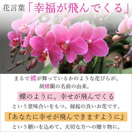 ミディ胡蝶蘭2本立 クローム鉢 4号 イエロー系/ピンク系