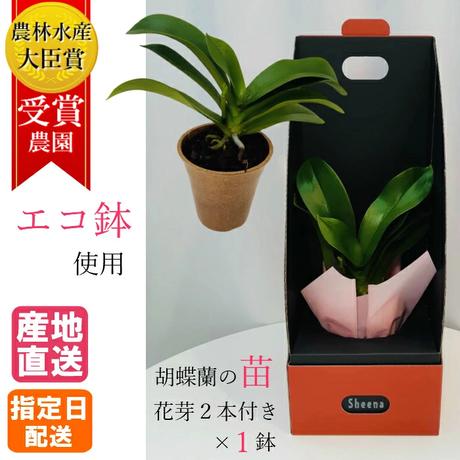 エコ鉢 【寄付つき】 胡蝶蘭の苗 シングル 2.5号 花芽2本付き