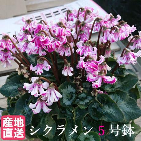 シクラメン 天使の羽 ピンク 5号 全国新品種大賞 最優秀品種