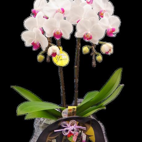 ミディ胡蝶蘭2本立 京都の高級風呂敷包み 4号