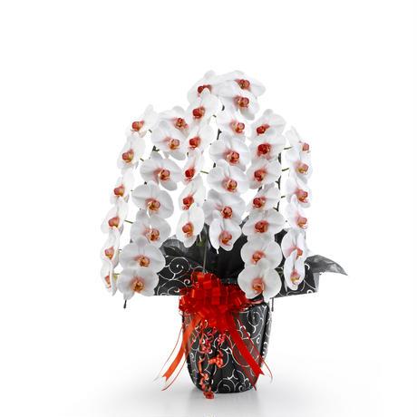 大輪胡蝶蘭 リップ 3本立 MIYABI「リップ」