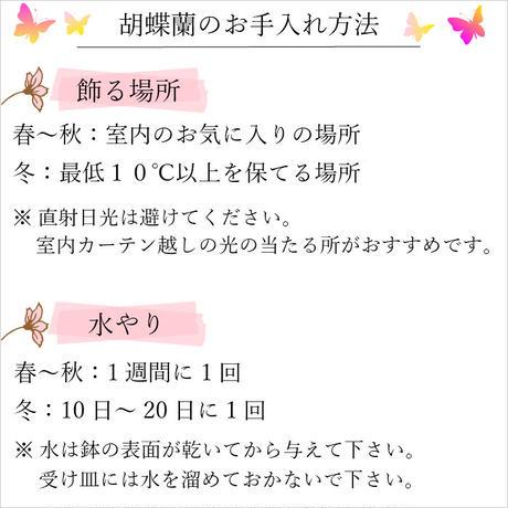 ミディ胡蝶蘭2本立 タンブラーポットスリム 3号 ピンク