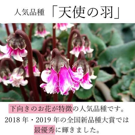 シクラメン 天使の羽 ピンク 6号 全国新品種大賞 最優秀品種