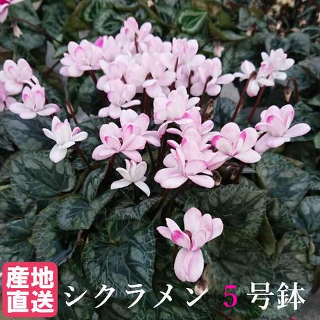 シクラメン フェアリーピコ ピンク 5号鉢 八重咲き
