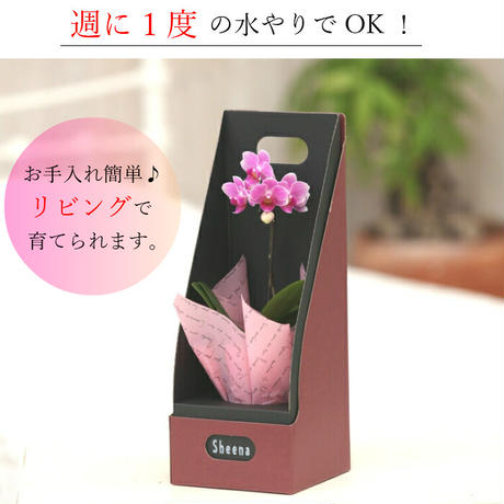 マイクロ胡蝶蘭シングル 2.5号 ピンク『2WAYギフトBOX入り』