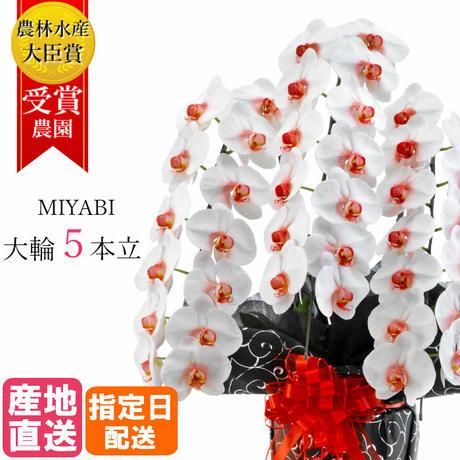大輪胡蝶蘭 5本立 MIYABI 「リップ」